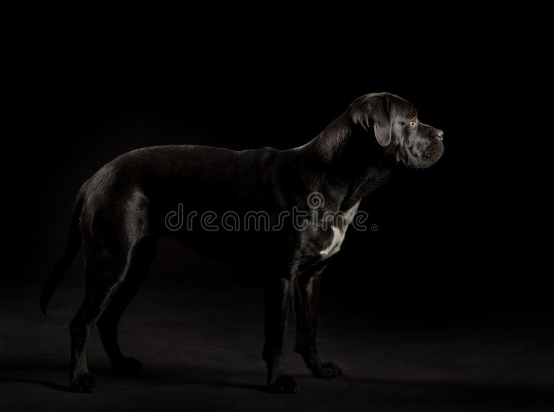 Portrait of a Cane Corso dog breed on a black background. stock photos