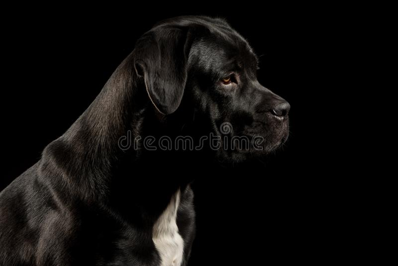 Portrait of a Cane Corso dog breed on a black background. stock photo