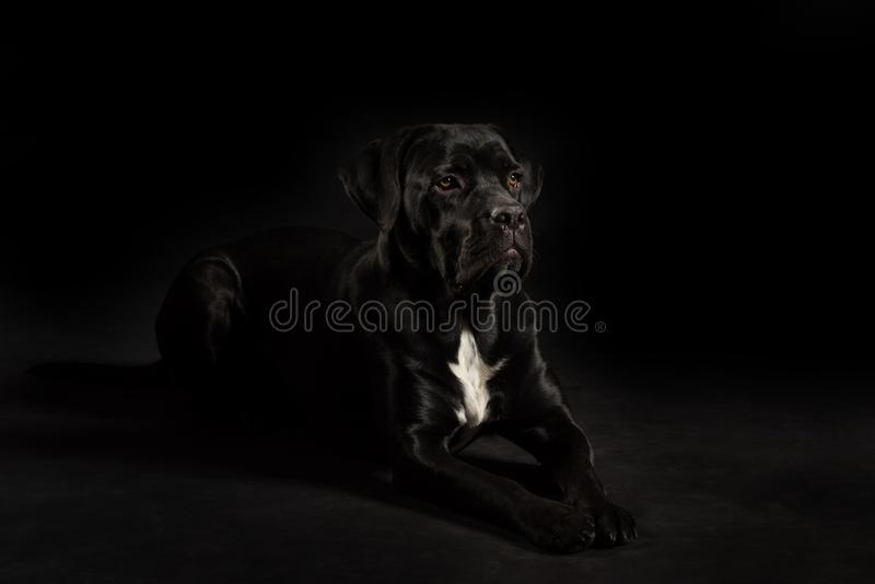 Portrait of a Cane Corso dog breed on a black background. royalty free stock image