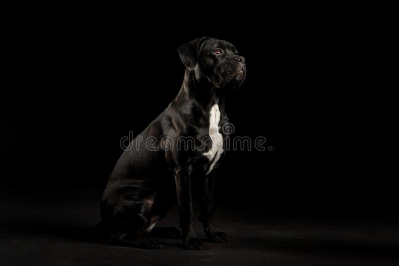 Portrait of a Cane Corso dog breed on a black background. stock images