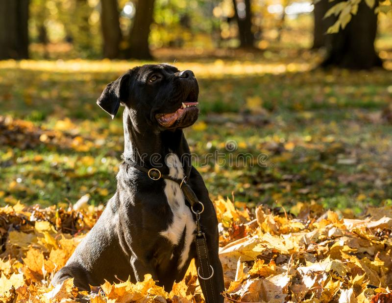 Portrait of a Cane Corso dog breed on a nature background. Dog playing on the grass with colored leaves in autumn. Italian mastiff royalty free stock images