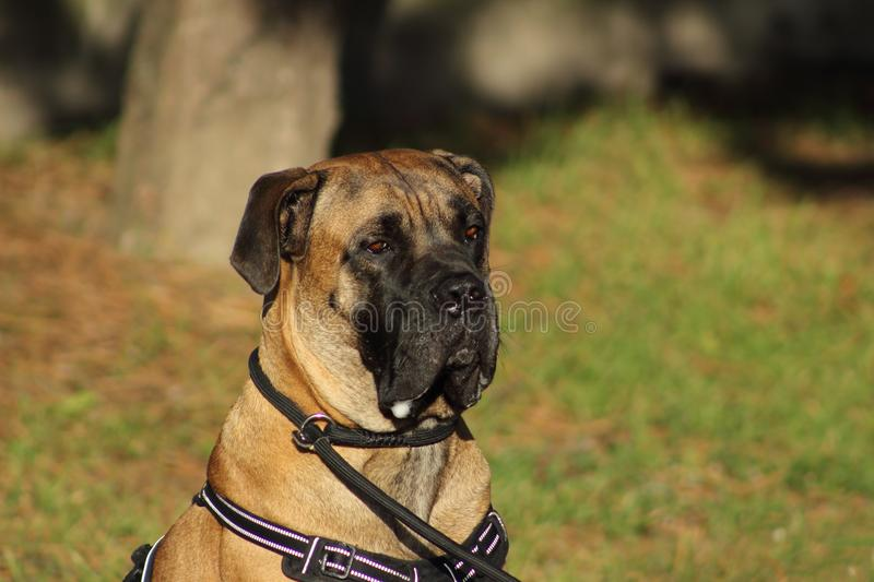 Portrait of a cane corso dog with tender eyes and mouth filled with drool stock photos