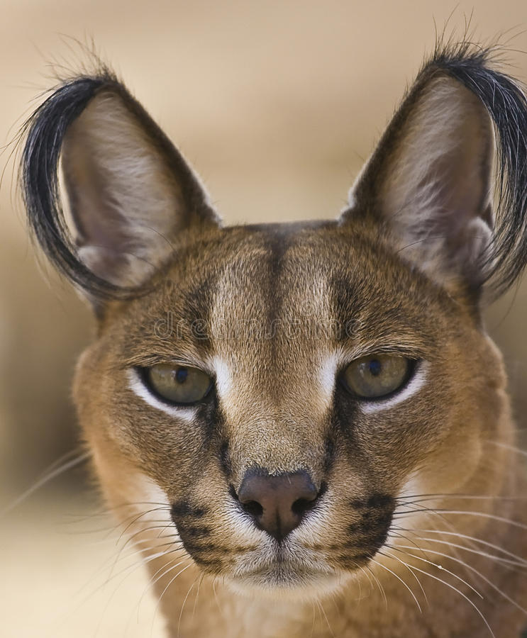 Portrait Of A Caracal Cat Stock Image