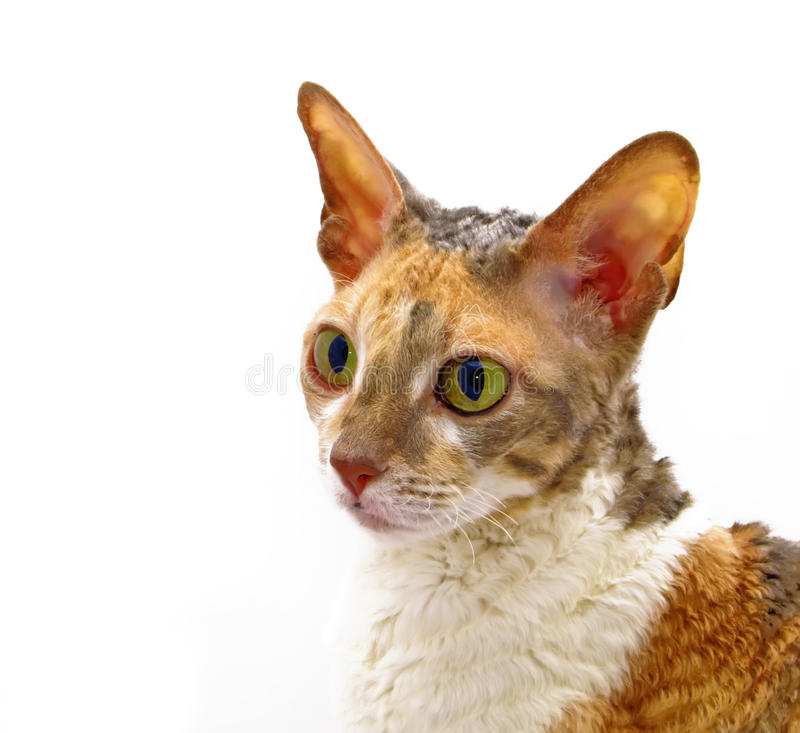 Portrait of Cat. A portrait of a Cornish Rex Cat on white background royalty free stock photography