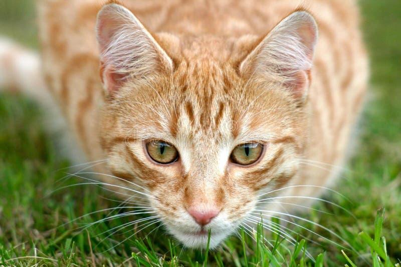Portrait of Cat royalty free stock photo