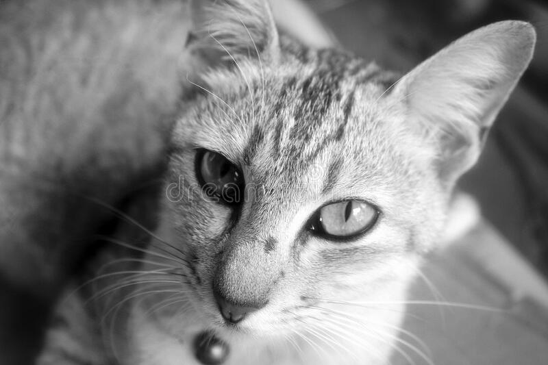 Portrait of cat in black and white royalty free stock photography