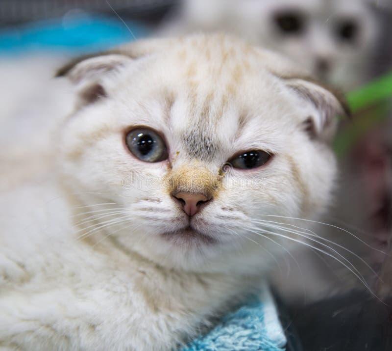 Portrait of a cat breed Scottish fold Scottish floor. Selective focus. Pets Leisure Hobbies stock photos