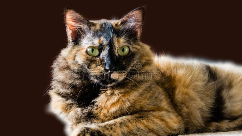 Portrait Of A Cat With Chimera Color Lies On A Carpet ...