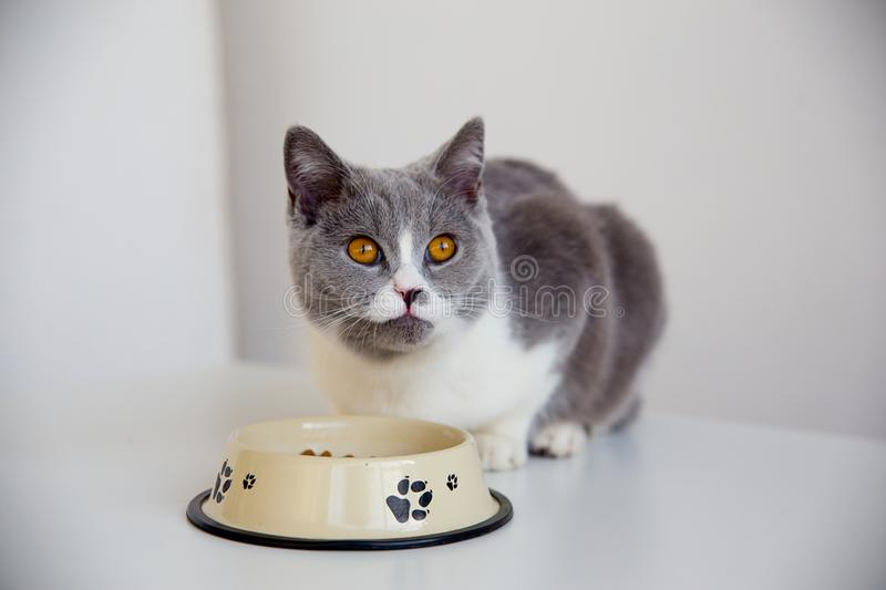 Cat eating his food stock photography