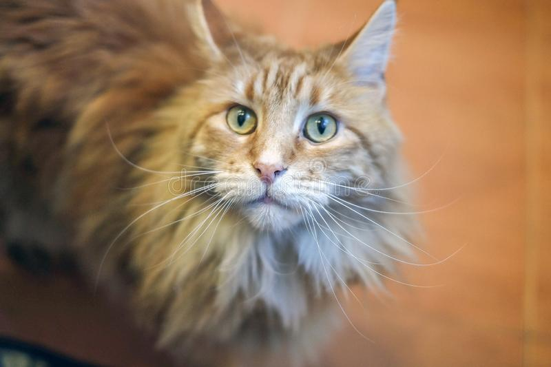 Portrait of a cat, a large beautiful and expressive cat breed Maine Coon. looks like a reed cat. with tassels on the ears royalty free stock photos