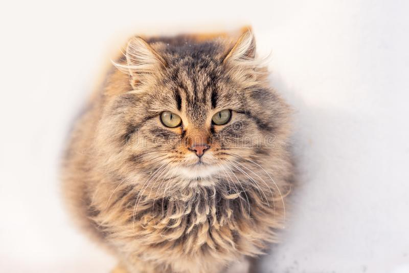 Portrait of a cat with long fur of brown and gray color on a white blurred background. Winter in the snow. Portrait of a cat with long fur of brown and gray royalty free stock image