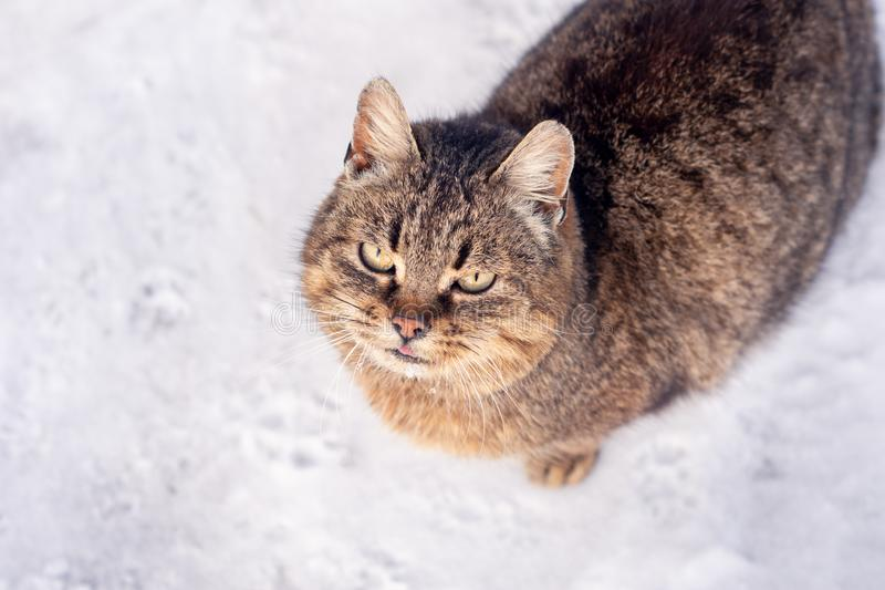 Portrait of a cat with long fur of brown and gray color on a white blurred background. Winter in the snow. Portrait of a cat with long fur of brown and gray stock photography