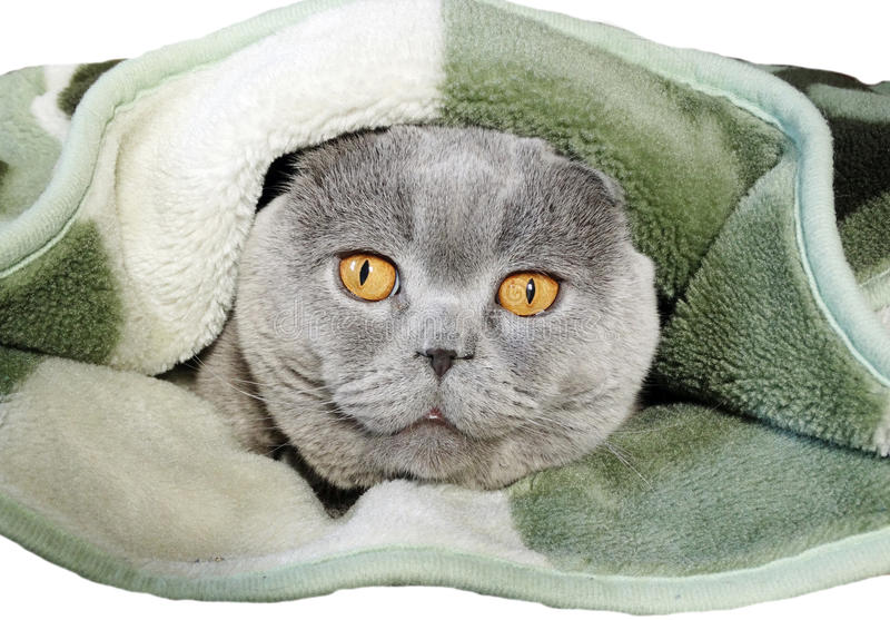 Download Portrait Of Cat Looking Out If Warm Winter Clothes Stock Photo - Image: 83704654