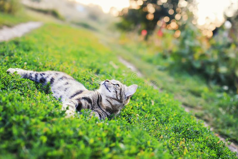 Cute striped cat lying on a lush green meadow on a warm summer evening in the glare of the sunset funny raising his. Portrait of a cat lying on a lush green royalty free stock photo