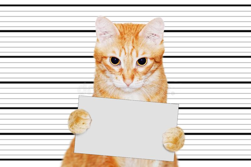 Portrait of cat-prisoner who holds in his paws a empty banner stock photos