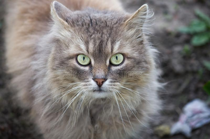 Portrait of a cat with a serious facial expression. Portrait of a fluffy cat with a serious facial expression stock images