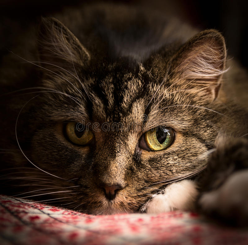 Portrait of cat thoughtfully looks , close up. Portrait cat thoughtfully looks , close up royalty free stock images