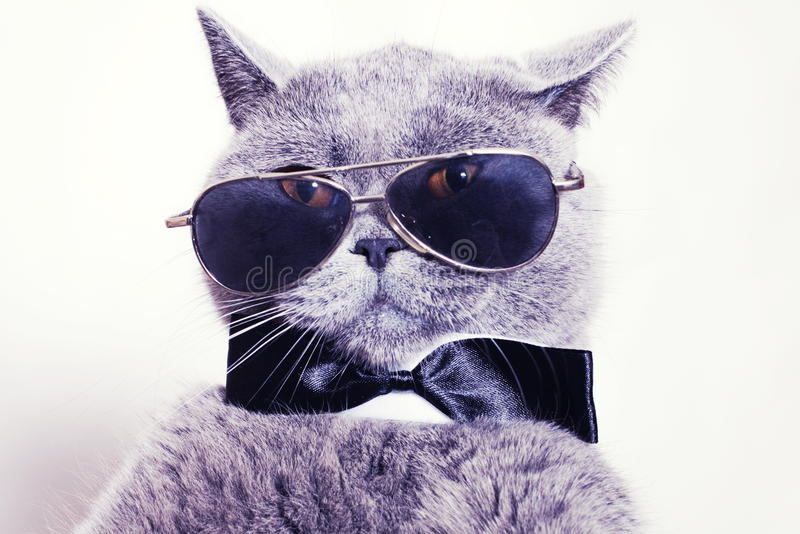 Portrait of cat wearing sunglasses stock photos