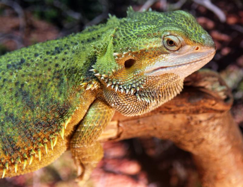 Central or Inland Bearded Dragon Pogona vitticeps stock photos