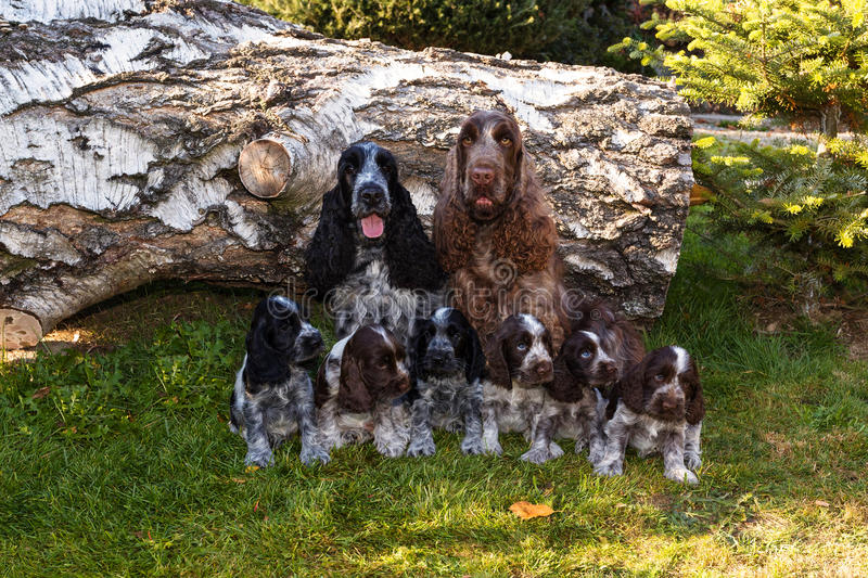 Portrait of champions of English Cocker Spaniel family. Outdoor stock photography