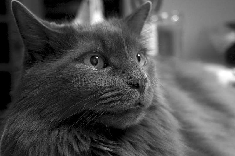 Download Portrait Of Charcoal Cat In Black And White Stock Image - Image: 20831903