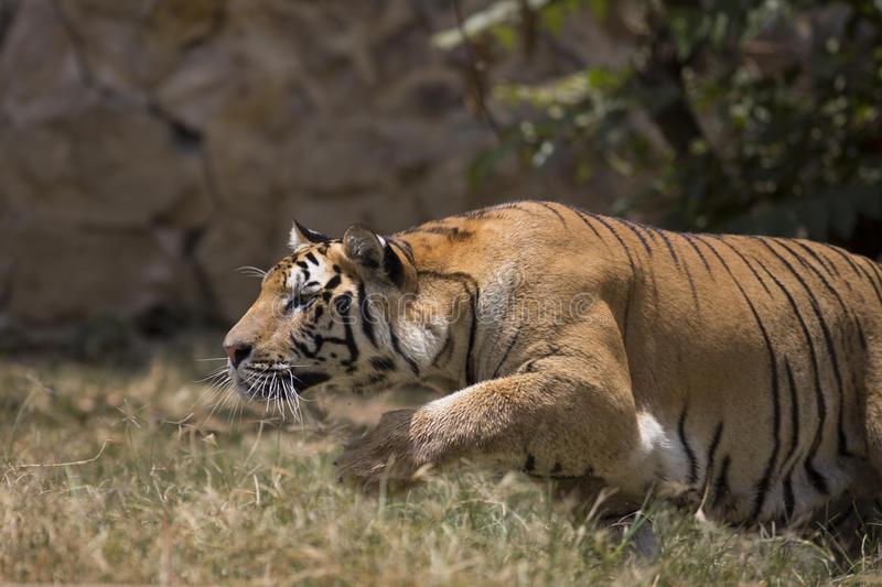 Portrait of a charging male wild tiger stock images
