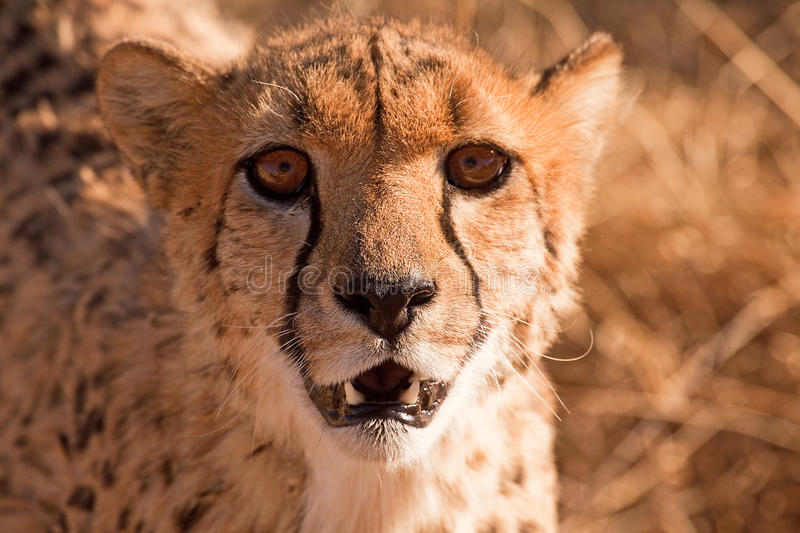 Download Portrait of cheetah stock image. Image of alert, outdoors - 10855001
