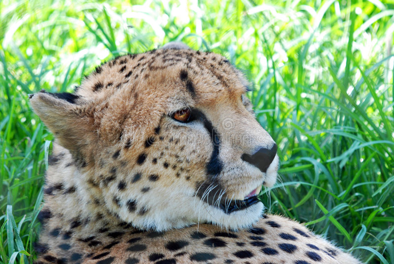Download Portrait of cheetah stock image. Image of grass, wildlife - 8086835