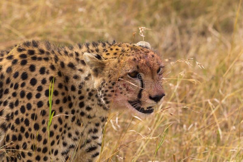 Portrait of cheetah. Masai mara. Portrait of cheetah. Masai mara, Kenya stock images