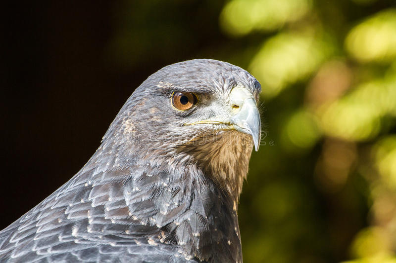 Portrait Chested noir de melanoleucus de Buzzard Eagle Geranoaetus photo libre de droits