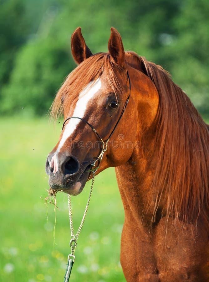 Portrait of chestnut arabian horse stock photo