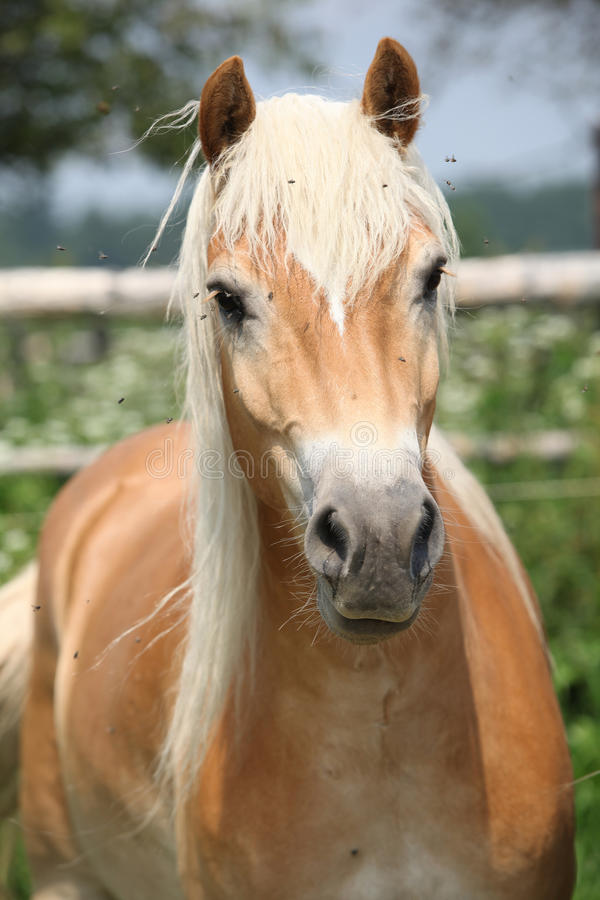 Portrait of chestnut haflinger on pasturage royalty free stock photo