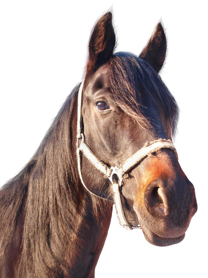 Portrait of a chestnut horse royalty free stock photography