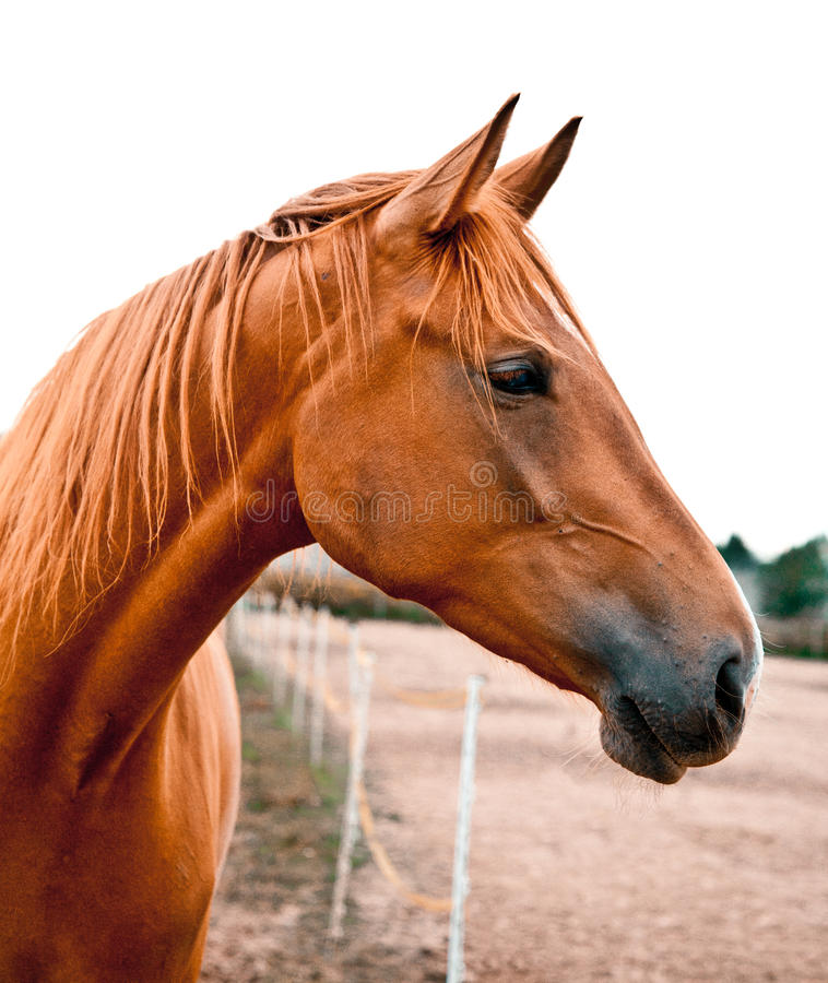 Portrait Of A Chestnut Horse Stock Image - Image of nature ...