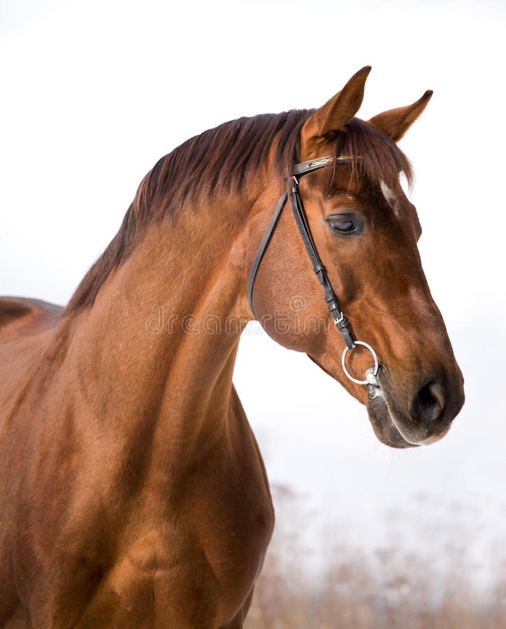 Portrait of chestnut horse royalty free stock photos