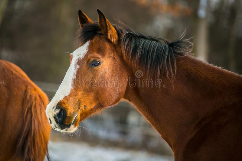 Portrait of chestnut horse with black mane royalty free stock image