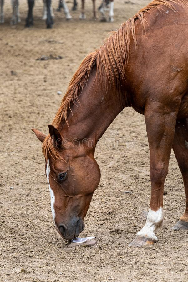 Portrait of a chestnut horse working a salt lick in a dirt corral royalty free stock images