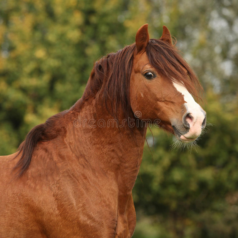Portrait of chestnut welsh pony stock image