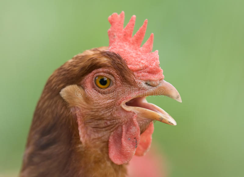 Download Portrait of a chicken stock photo. Image of cluck, bird - 10085714