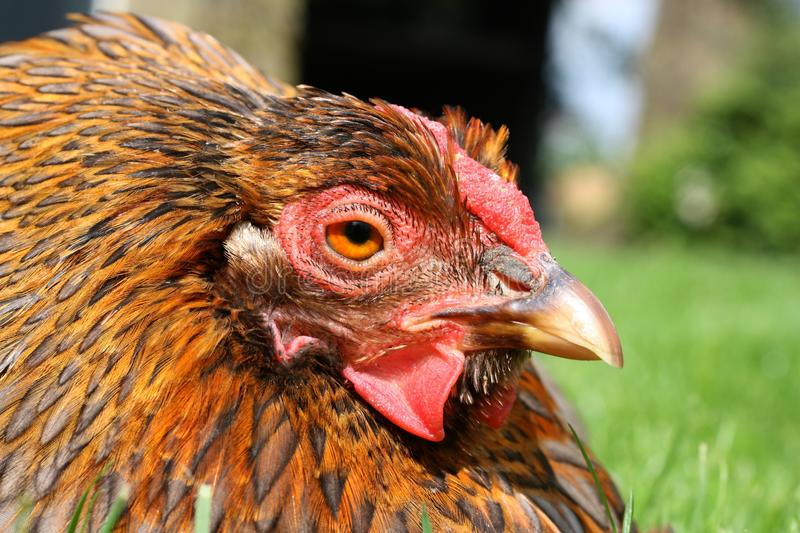Download Portrait of a chicken stock image. Image of feather, bantam - 39505169
