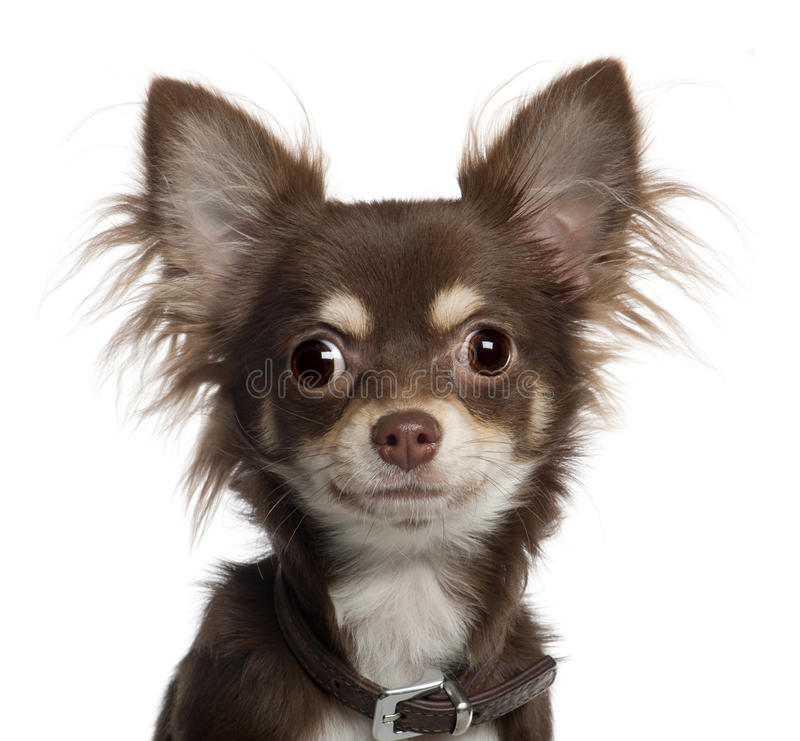 Portrait of Chihuahua puppy, 6 months old royalty free stock images