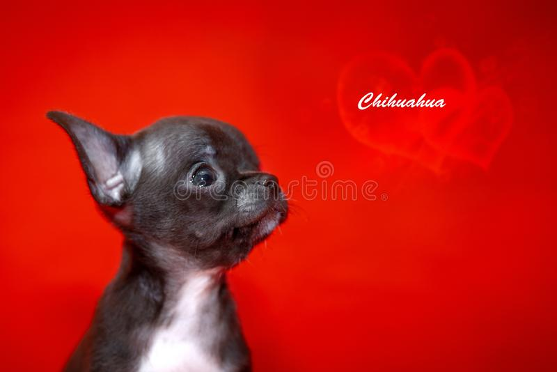 Portrait of Chihuahua on a red background ,St. Valentine`s day concept. stock photo