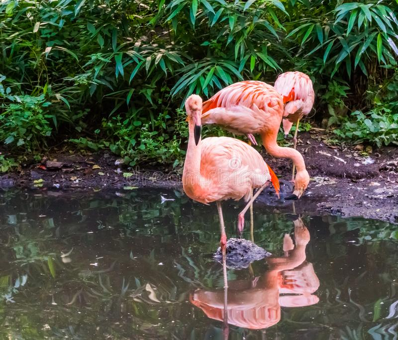 Portrait of a chilean flamingo standing in the water with other flamingos in the background, popular zoo birds from chili. A portrait of a chilean flamingo stock images
