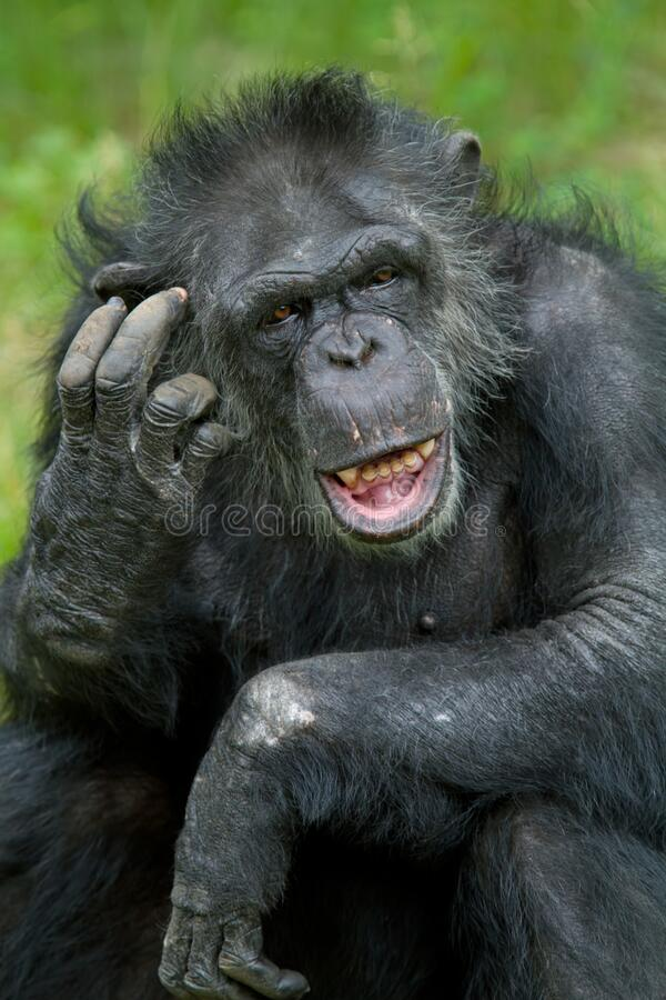 Portrait of a Chimpanzee. Pan trodglodytes scratching its head stock photo
