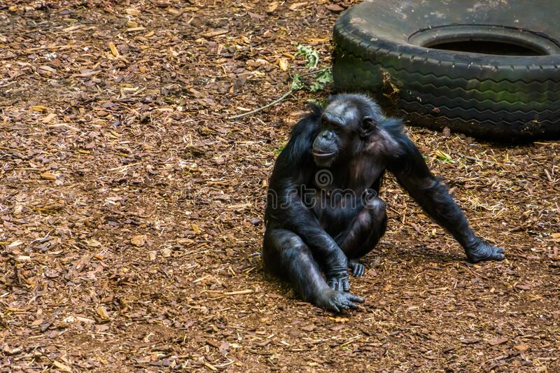 Portrait of a chimpanzee sitting on the ground, Endangered animal specie from Africa stock photo