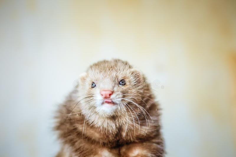 Portrait of chocolate ferret. Close up portrait of young chocolate ferret with blue eyes royalty free stock photography