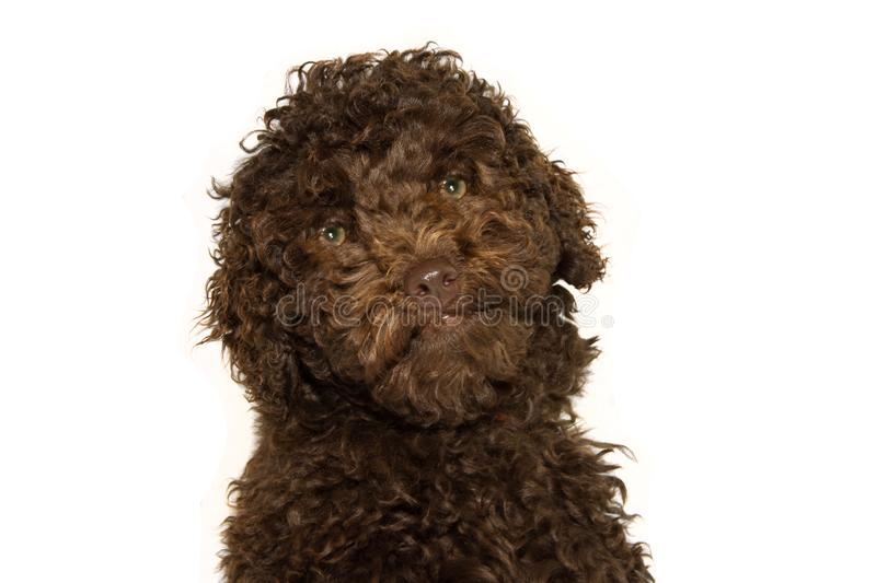Portrait of a chocolate golden poodle puppy dog standing on white background.  royalty free stock image