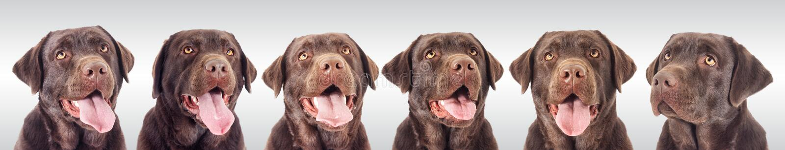 Portrait of a chocolate labrador dog. Looking stock images