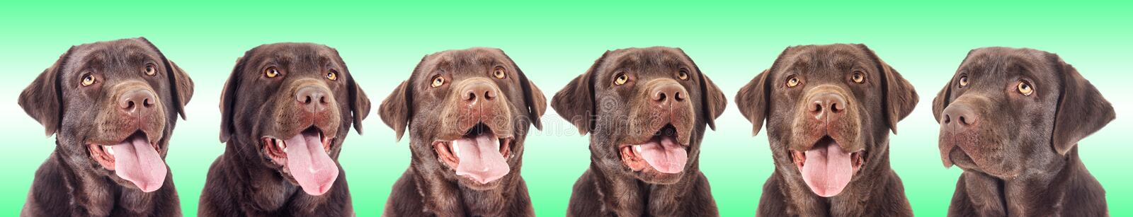 Portrait of a chocolate labrador dog. Looking stock photo