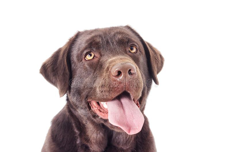 Portrait of a chocolate labrador dog. Looking royalty free stock photography